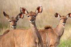 Kudu antelopes - stock photo