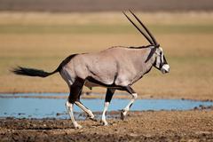 Running gemsbok antelope - stock photo