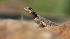 Ground agama Stock Footage