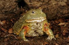 Pixie Frog Stock Photos