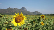 Stock Video Footage of Sunflower Field