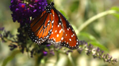 Butterfly Flaping Wings - stock footage