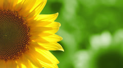 Sunflower on green background Stock Footage