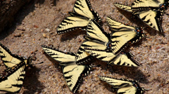 Butterflies close up yellow tiger swallowtail sand Stock Footage