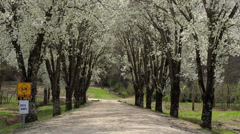 Dirt road white blooming trees Stock Footage