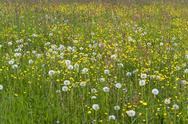 Stock Photo of flowering meadow
