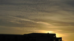 Starling murmuration over Aberystwyth pier - version 1 Stock Footage