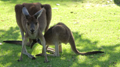 Mother feeds joey kangaroo, western australia Stock Footage