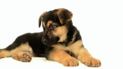 German Shepherd puppy turns his head Stock Footage