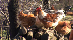 Rooster and hens on a pile of logs Stock Footage