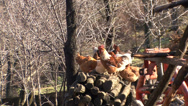 Stock Video Footage of Poultry in the backyard rooster 2