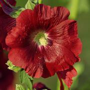 Flower of common hollyhock - stock photo