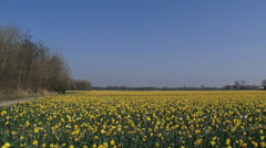 HILLEGOM pan yellow bulb field daffodils in coastal area Stock Footage