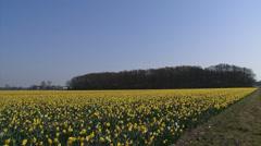 Daffodil bulb field flat sandy soils + pan dune landscape , coastal area. Stock Footage
