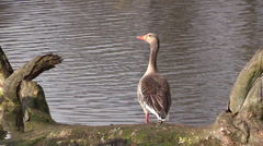 Cackling goose on a pond Stock Footage