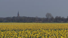 Bennebroek church tower - zoom out daffodil bulb field in polder Stock Footage
