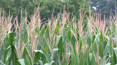 Field Corn Medium - stock footage