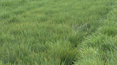 Dense young wheat in spring - stock footage