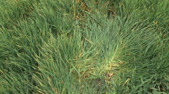Trodden young wheat Stock Footage