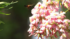 Bee Collects Nectar  On bunch Of Pink Flowers Stock Footage