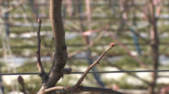 Buds on apple tree in winter Stock Footage