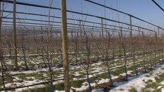 Young apple orchard in winter - stock footage
