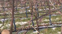 Apple tree saplings in winter Stock Footage
