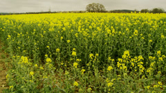 Normandy yellow field pan Stock Footage