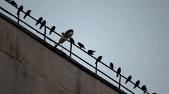 Crows on the roof Stock Footage