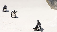 penguin colony - stock footage