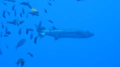 Barracuda floats among schools of fish, coral reef Stock Footage