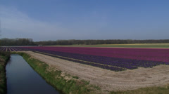 Pan hyacinth bulb fields in Dutch coastal area, dune row at horizon Stock Footage