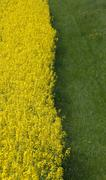 half fresh green grass field to forage and half yellow field of rapeseed flow - stock photo