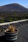 cactus  viticulture  winery lanzarote spain - stock photo