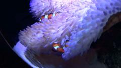 Clown Fish Swimming In Anemone Stock Footage