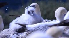 Morus bassanus,  gannet, gannetry, Bass Rock, UK Stock Footage