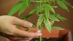 Cannabis cultivating Stock Footage
