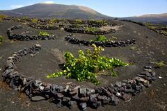 viticulture  winery lanzarote spain la - stock photo