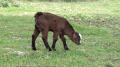 Brown goatling trekking shot - stock footage