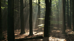 Sunlight streaming through the beech forest canopy in The Netherlands Stock Footage