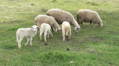 Sheep and lambs grazing Stock Footage