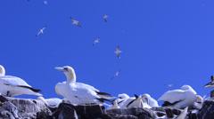 Gannetry  (Morus bassanus) at Bass Rock,  Scotland, UK, Stock Footage