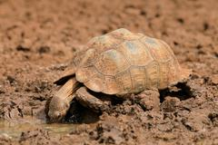 Leopard tortoise drinking water - stock photo