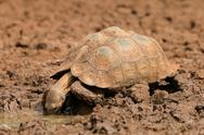 Stock Photo of Leopard tortoise drinking water