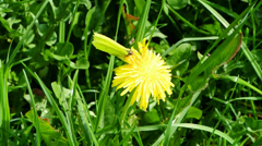 Brimstone butterfly on dandelion flower Stock Footage