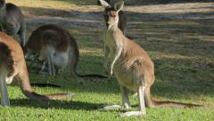 Group of kangaroos eating grass, western australia Stock Footage