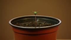 Cannabis seedling Stock Footage