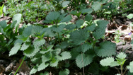 Stock Video Footage of Stinging nettle, food and medicinal plant