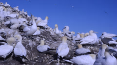 Gannets in the gannetry of Bass Rock, Scotland, UK, Stock Footage