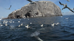 Gannets are flying and dipping in the sea at Bass Rock Stock Footage